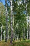 Birkenwald Lizenzfreies Stockfoto