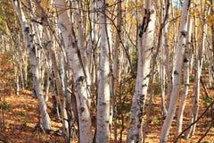 Birkenwald Стоковые Изображения RF