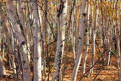 Birkenwald Стоковые Изображения