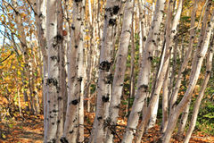 Birkenwald Стоковое Изображение RF