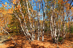 Birkenwald Стоковые Фото