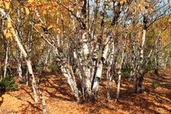 Birkenwald Стоковое Фото