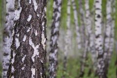 Birkenwald Stockfoto