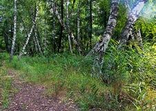 Birkenwald an einem Sommertag Stockfotografie