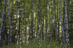 Birkenwald im Frühjahr Stockbilder