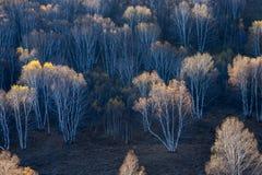 Birkenwald im Herbst Stockfotos