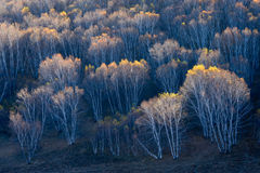 Birkenwald im Herbst Stockfoto