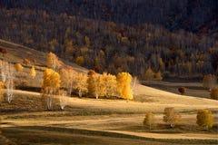 Birkenwald im Herbst Stockbild