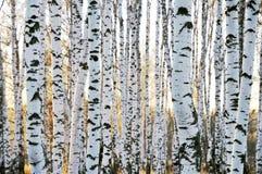 Birkenwald im Herbst Stockfotografie