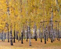 Birkenwald im Herbst Stockbilder