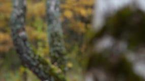Birkenwald im Herbst - Videorefokussierung stock video footage