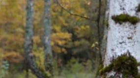 Birkenwald im Herbst - Videorefokussierung stock footage