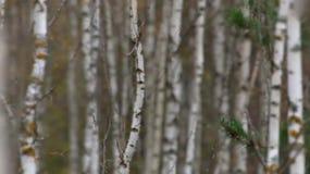 Birkenwald im Herbst - Videorefokussierung stock video