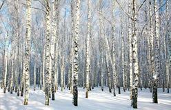 Birkenwald mit bedecktem Schnee verzweigt sich im Sonnenlicht Lizenzfreie Stockfotos