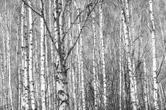 Birkenwald, schwarz-weißes Foto lizenzfreies stockfoto