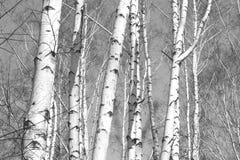Birkenwald, schwarz-weißes Foto stockbild