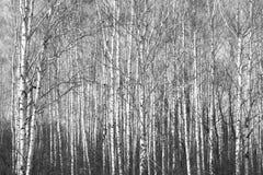 Birkenwald, schwarz-weißes Foto lizenzfreies stockbild