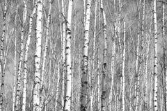 Birkenwald, schwarz-weißes Foto stockfoto