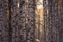 Birkenwald am Sonnenunterganglicht Stockfotos
