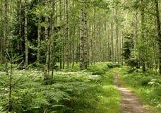Birkenwaldung Stockfoto