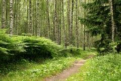 Birkenwaldung Lizenzfreie Stockfotografie