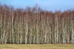Birkenwaldung Lizenzfreies Stockbild