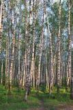 Birkenwaldung Stockbilder