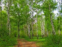 Birkenwaldung im Frühjahr und Sommer Lizenzfreie Stockfotos