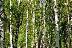 Birkenwaldung im Frühsommer Lizenzfreie Stockfotografie