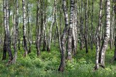 Birkenwaldung im Früjahr Lizenzfreies Stockfoto