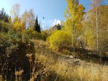 Birkenwaldung im Herbst Stockfoto
