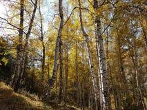 Birkenwaldung im Herbst Stockbilder