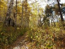 Birkenwaldung im Herbst Lizenzfreies Stockfoto