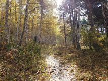 Birkenwaldung im Herbst Stockfotografie