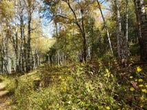 Birkenwaldung im Herbst Stockbild