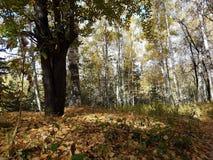 Birkenwaldung im Herbst Lizenzfreie Stockbilder