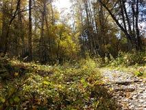 Birkenwaldung im Herbst Lizenzfreies Stockbild