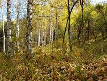 Birkenwaldung im Herbst Lizenzfreie Stockfotos