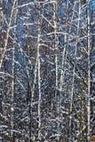 Birkenwaldung im Winter Stockfotos