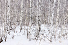 Birkenwaldung im Winter Stockbild