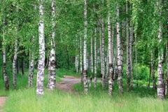 Birkenwaldung mit schönen grünen Bäumen Stockbilder