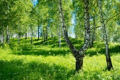 Birkenwaldungshintergrund Lizenzfreies Stockfoto