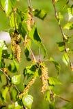 Birkenweidenkätzchen mit Grünblättern an den Baumasten Lizenzfreies Stockbild