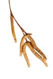 Birkenweidenkätzchenknospen lokalisiert auf Weiß lizenzfreies stockfoto