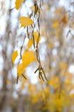 Birkenzweig im Herbstregen Stockbilder