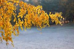 Birkenzweig mit gelben Blättern Lizenzfreie Stockbilder