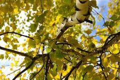Birkenzweig und Blätter Stockbild