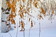 Birkenzweige mit altem Gelb trockneten Blätter auf dem Hintergrund des Schnees im Sonnenlicht, Lizenzfreies Stockbild