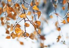 Birkenzweige mit den gelben Blättern bedeckt mit einer glänzenden Kruste von Lizenzfreie Stockbilder