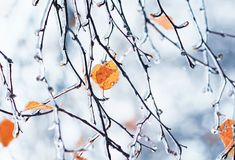 Birkenzweige mit den gelben Blättern bedeckt mit einer glänzenden Kruste von Stockfotografie